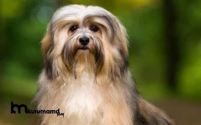Havanese Köpeğinin Kökeni ve Tarihi