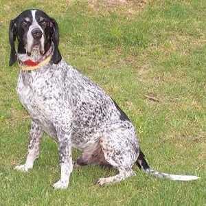 İngiliz Pointer Köpeği Kimlik Kartı