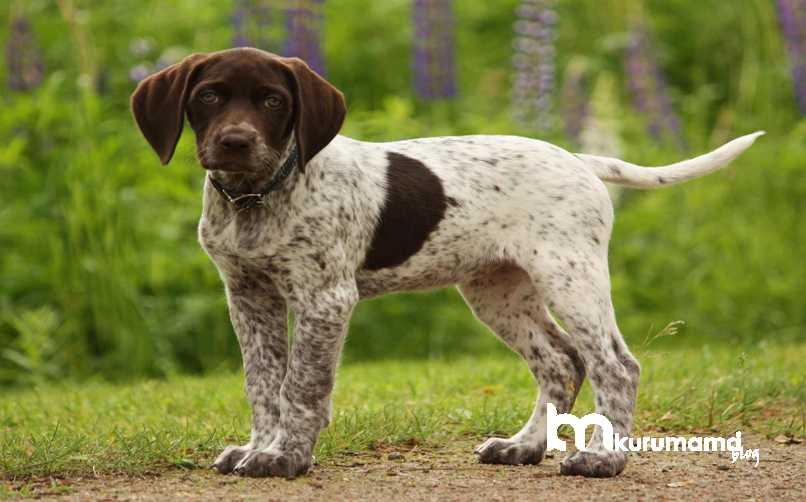 İngiliz Pointer Köpeği Karakter Özellikleri