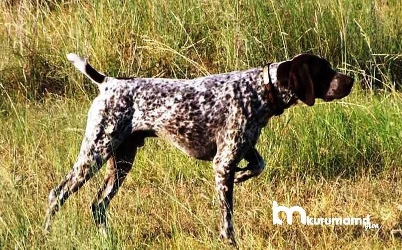 İngiliz Pointer Köpeği Sağlık Durumu