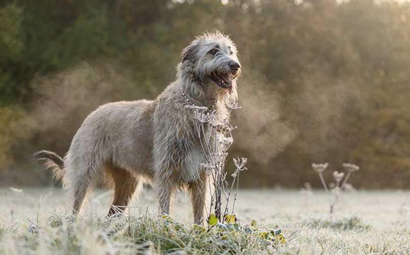 İrlanda Kurt Köpeği bakımı