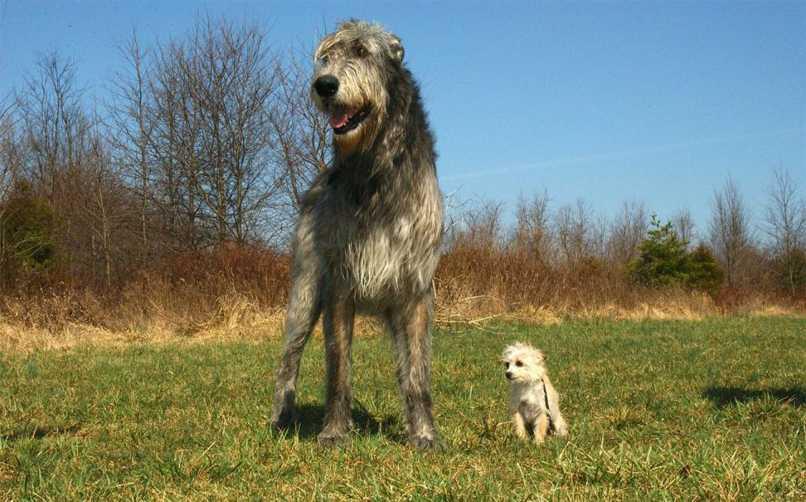 İrlanda Kurt Köpeği Kökeni ve Tarihi