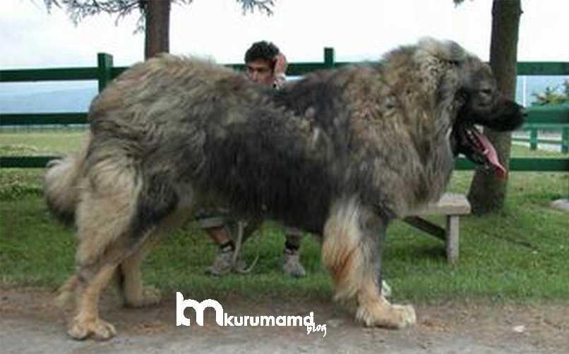 Bir Bakışta Kafkas Çoban Köpeğine Bakış