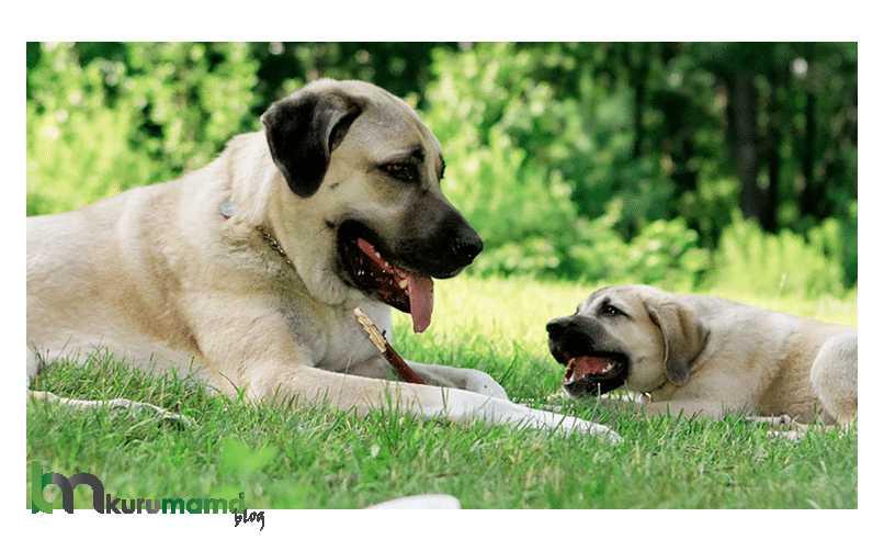 Kangal köpeği beslenmesi
