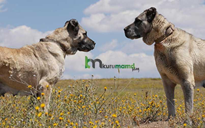 Kangal köpeği hakkında ilginç bilgiler