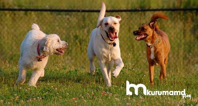 Köpek Sosyalleştirme eğitimi