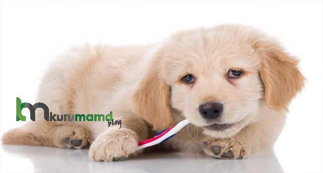 Köpeklerin Dişleri Nasıl Fırçalamalıdır