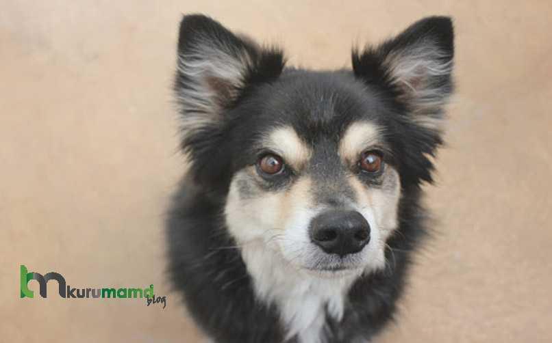 Lapphund Cinsi Köpeğin Bakımı Nasıl Yapılır