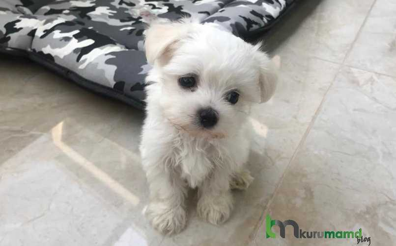 Maltese Terrier (Malta Köpeği) En Belirgin Özellikleri