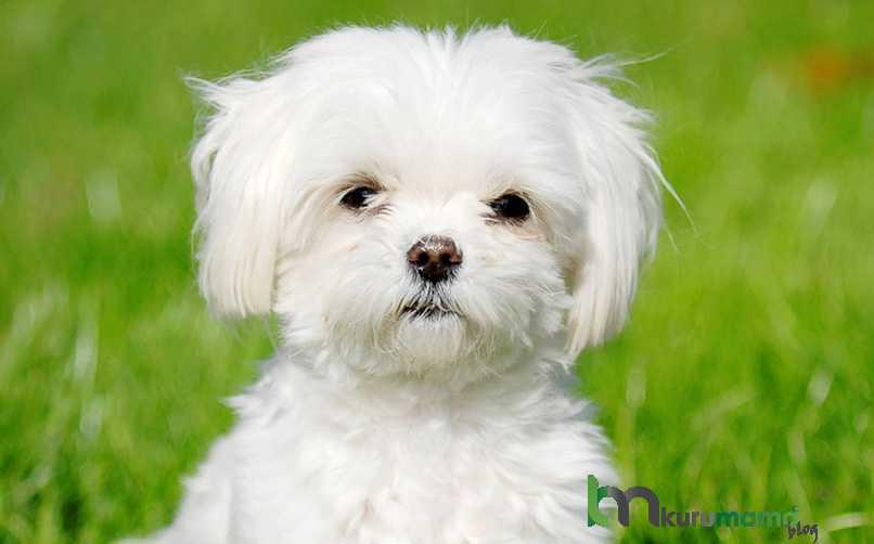 Maltese Terrier Köpeğinde En Sık Görülen Sağlık Sorunları