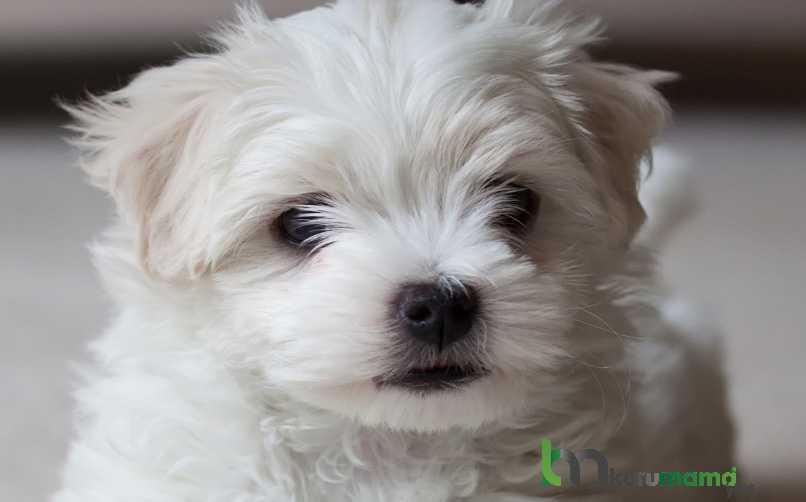 Malta Köpek Cinsi Maması Tercihi Nasıl Olmalıdır ve Nelere Dikkat Edilmelidir?