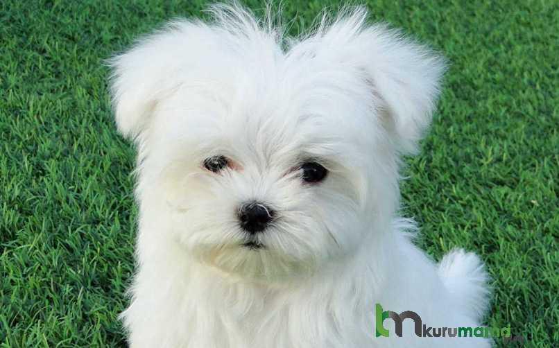 Maltese Terrier (Malta Köpeği) Beslenme Önerileri