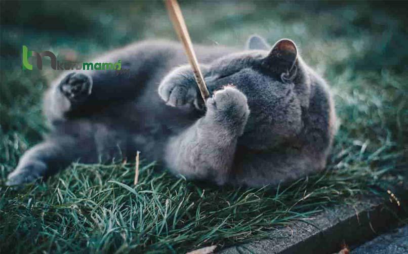 Mavi Rus Kedisinin Yatkın Olduğu Sağlık Sorunları