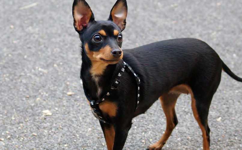 Miniature Pinscher Köpeğinin Karakter Özellikleri
