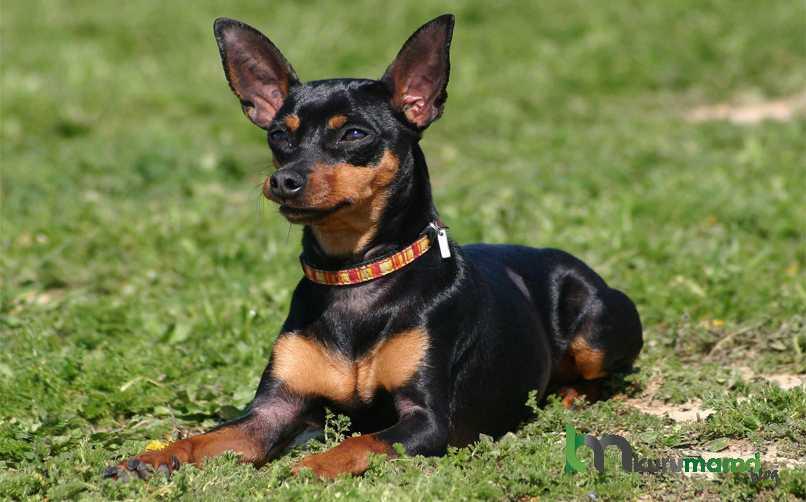 Miniature Pinscher Köpeklerinde En Sık Görülen Sağlık Sorunları