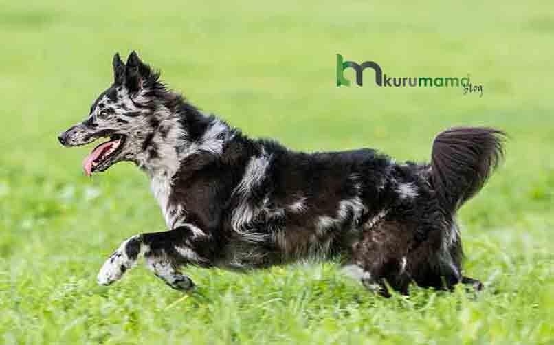Mudi Cinsi Köpeğin Fiziksel Özellikleri