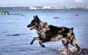 Mudi cinsi köpek özellikleri