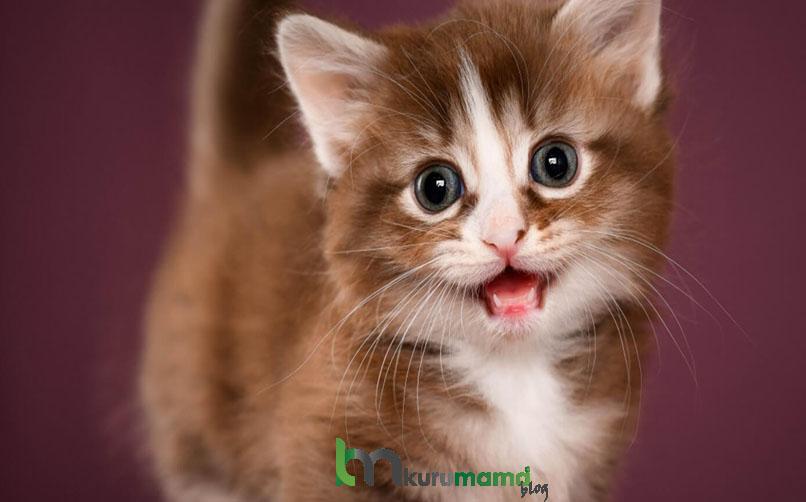 Munchkin Kedisi Hakkında Bakım Önerileri