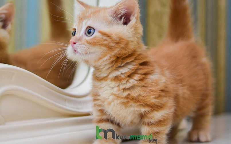 Munchkin Kedisinin Yatkın Olduğu Sağlık Sorunları