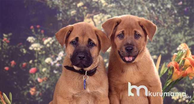 Orijinal Köpek İle Kırma Köpek Arasındaki Farklar
