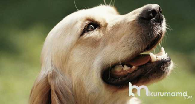orijinal köpek nasıl anlaşılır