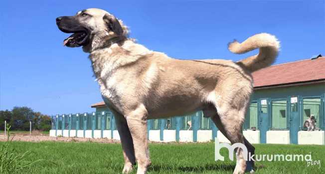 Safkan (Orijinal) Köpek Nereden Alınır?