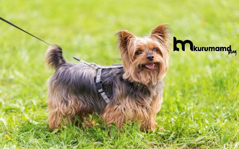 Orijinal Yorkshire Terrier Nasıl Anlaşılır?
