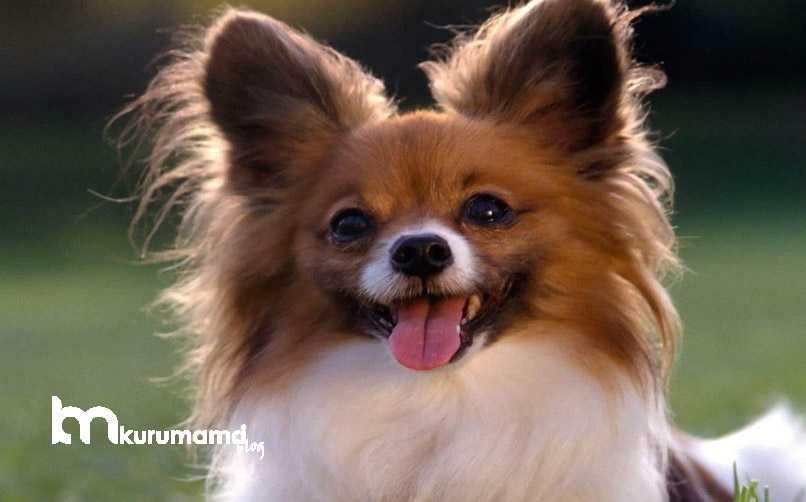 Papalion Köpek Eğitimi Nasıl Olmalıdır