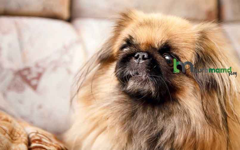 Pekinez Köpeği Karakter Özellikleri