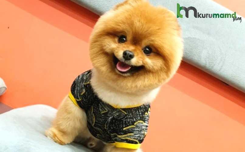 Sağlıklı Bir Pomeranian Köpeğinin Beslenme Sırları