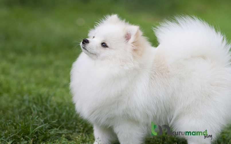 Pomeranian Köpeğinin Eğitimi