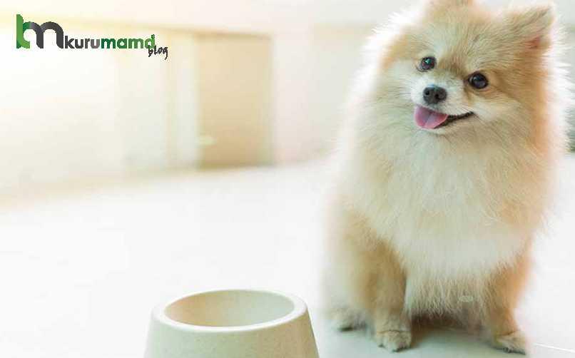 Pomeranian Köpeğinin Fiziksel Özellikleri