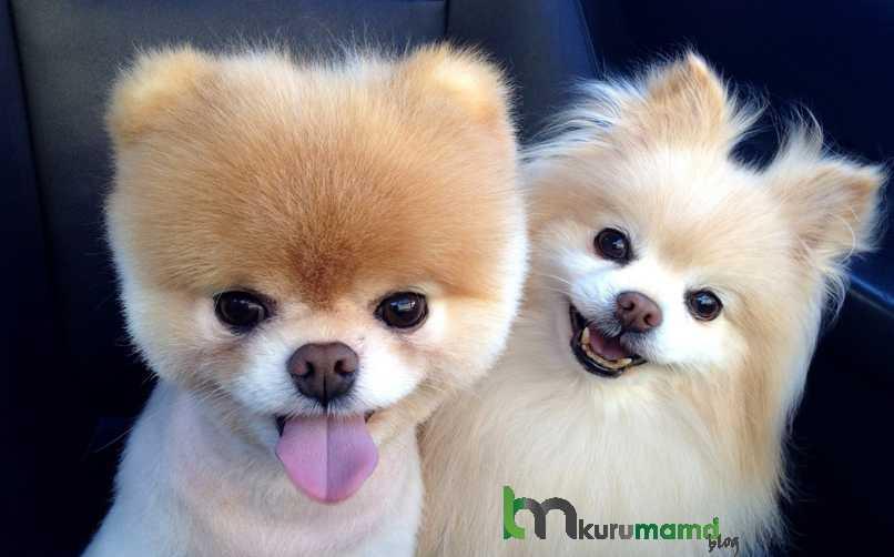 Pomeranian Köpeği Sağlığı