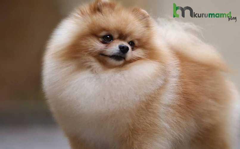 Pomeranian Boo Köpeğinin Orijinal Olduğu Nasıl Anlaşılır?