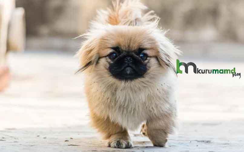Orijinal (Safkan) Pekinez Köpeği Nasıl Anlaşılır?
