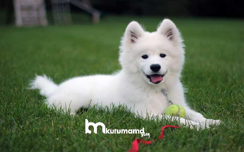 Samoyed Cinsi Köpek Genel Özellikleri