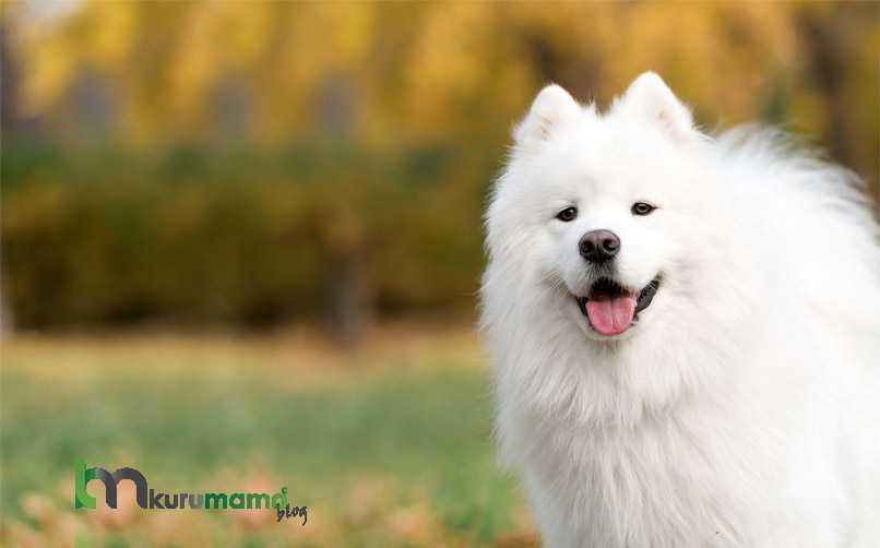 Samoyed Cinsi Köpek Karakter Özellikleri