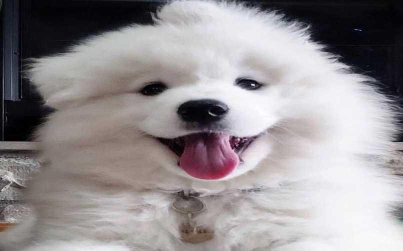 Samoyed Cinsi Köpek Tarih ve Kökeni