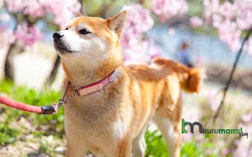 Shiba İnu Köpeğinin Beslenmesi İçin 4 Mama Önerisi