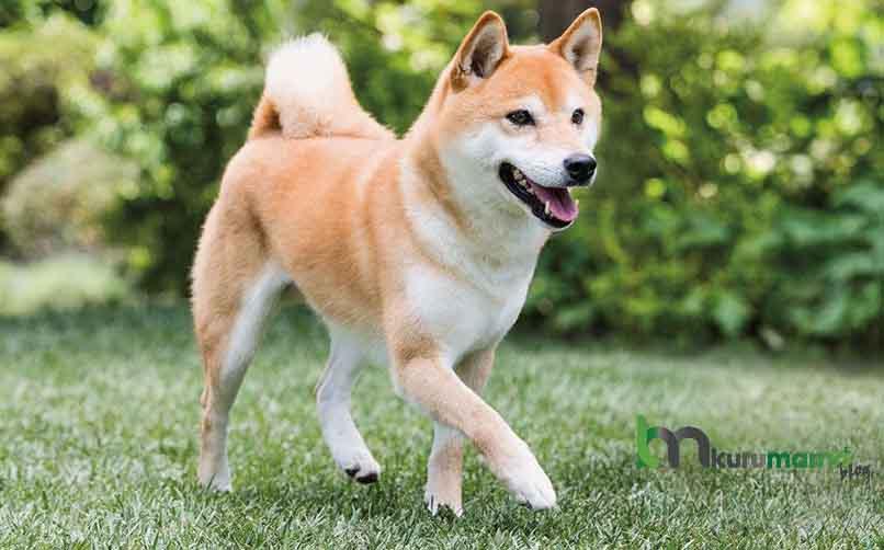 Shiba İnu Köpeğinin Kökeni ve Tarihi
