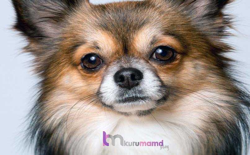 Chihuahua (Şivava) Bakım Önerileri