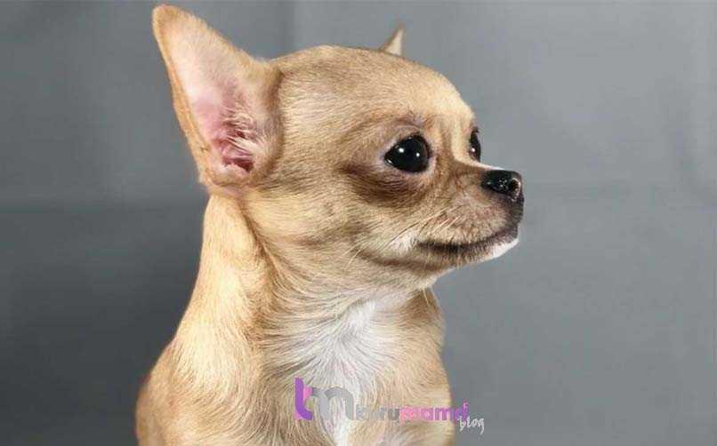 Chihuahua (Şivava) Beslenme Önerileri