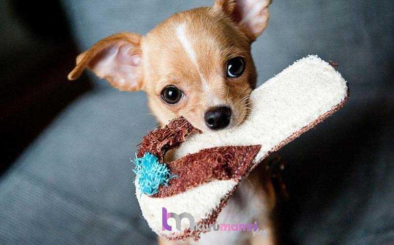Chihuahua (Şivava) Köpek Eğitimi