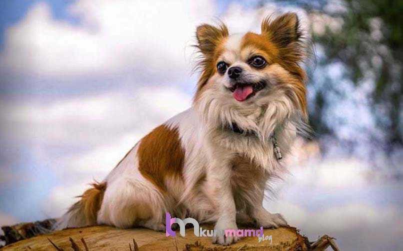 Chihuahua (Şivava) Köpeğinin Egzersiz İhtiyacı