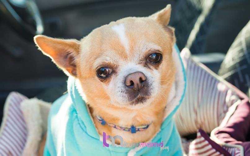 Chihuahua (Şivava) Hakkında En Çok Merak Edilenler
