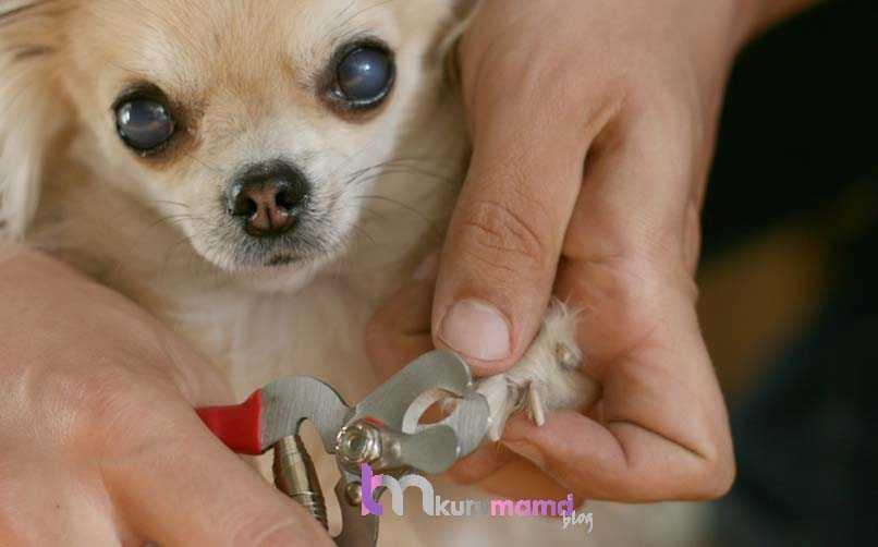 Chihuahua (Şivava) Karakter Özellikleri
