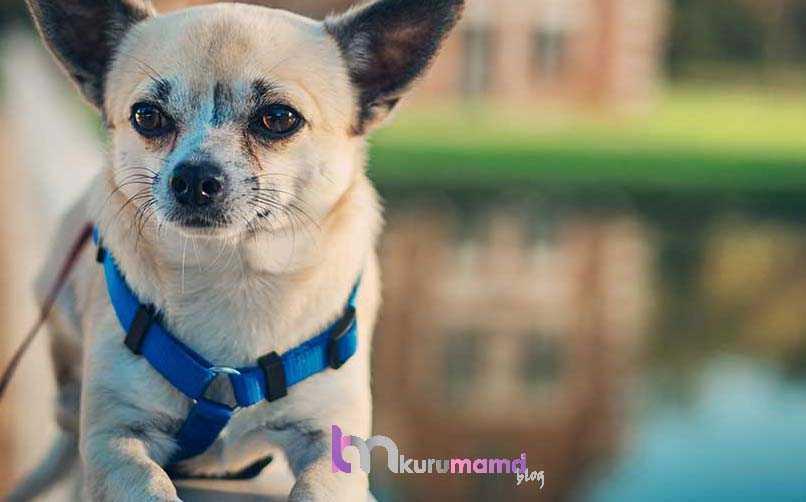 Chihuahua (Şivava) Kökeni ve Tarihi