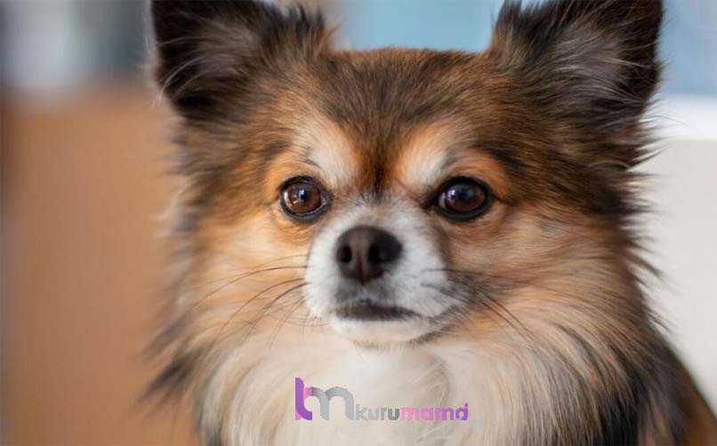 Chihuahua (Şivava) Köpeğinin 10 Temel Özelliği