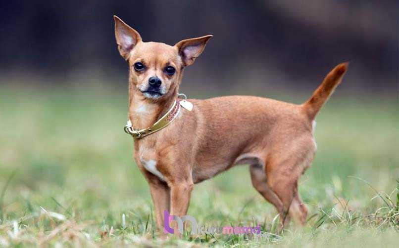 Chihuahua (Şivava) Sağlık Sorunları ve Yatkın Olduğu Hastalıklar