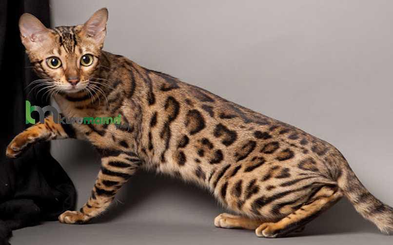 Toyger Kedisi Beslenme Önerileri